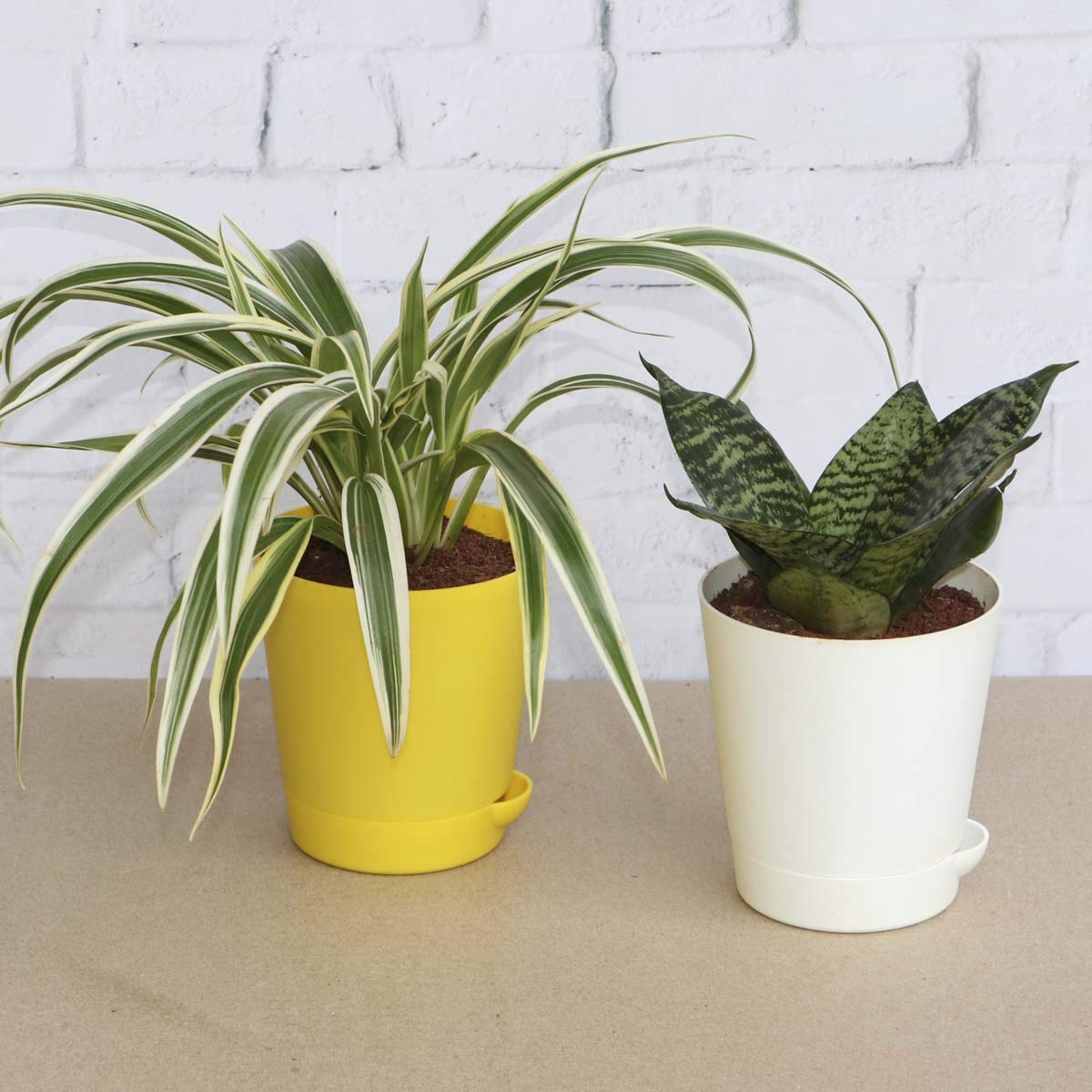 Ugaoo Indoor Air Purifier Plants For Home With Pot - Spider Plant & Sanseveria Green (B07TS1MRXB) Amazon Price History, Amazon Price Tracker