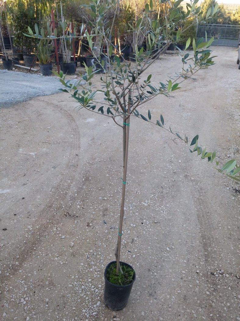 Albero da giardino con folta chioma for Chioma albero