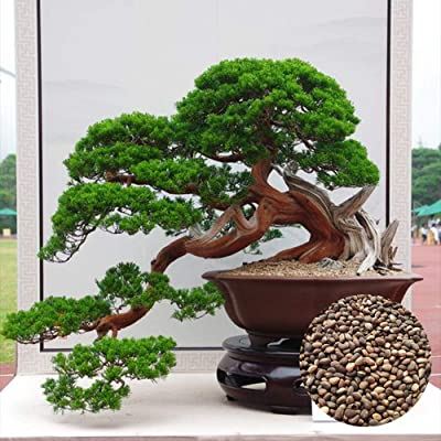 10 Pine Trunk Seed Decor Home Balcony for Indoor and Outdoor Suitable for Kids Or Gift Idea Fastest Growing Rare Matures Quickly Wonderful Gardening Gifts: Garden & Outdoor