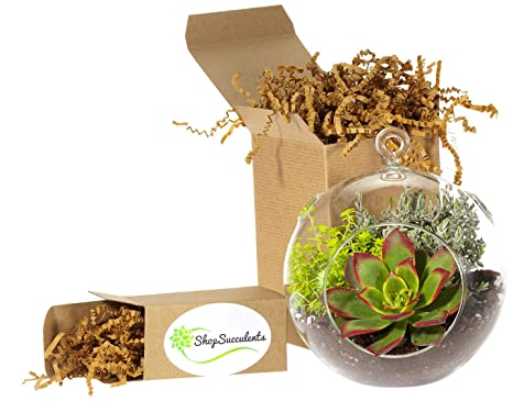 Amazon Com Shop Succulents Globe Succulent Terrarium Large