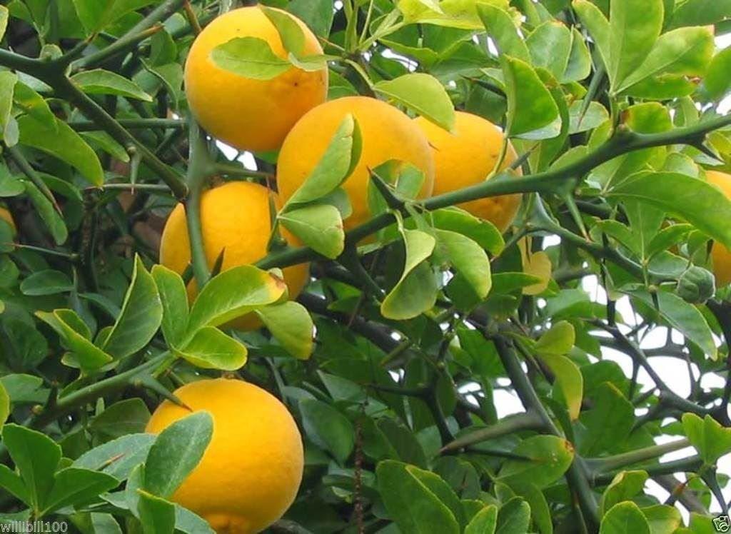 Hardy Orange seed (Poncirus trifoliata) a.k.a Chinese Bitter Orange,Hardy zone 5(100 Seeds) Unbranded
