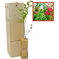 LAGERSTROEMIA INDICA Arbolito de pequeño tamaño de espectacular belleza en floración (1)