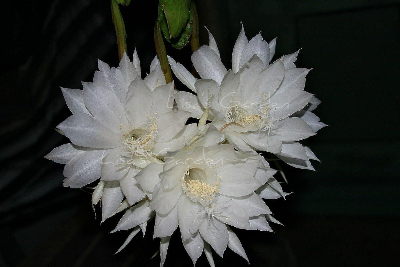Amazing Epiphyllum Showboat Orchid Cactus Epi Shb