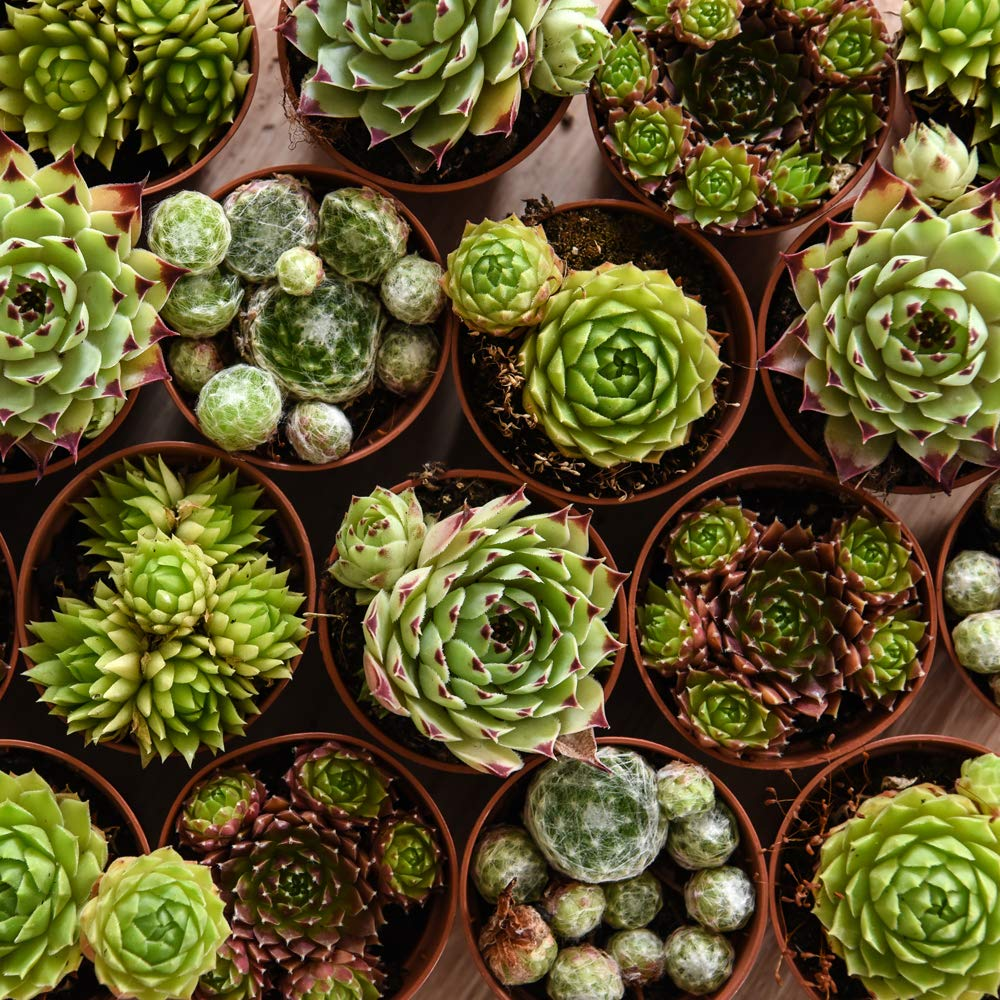 Mixed Potted House Plants Easy to Grow for Home Indoor Succulents Sempervivum Plants Office /& Conservatory 3 x 5.5cm pots by Thompson /& Morgan