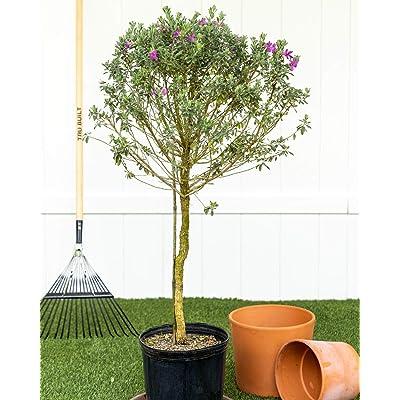 PlantVine Leucophyllum frutescens, Texas Sage, Cenizo, Barometer Bush, Silverleaf - Large - Large, Tree - 8-10 Inch Pot (3 Gallon), Live Plant : Garden & Outdoor