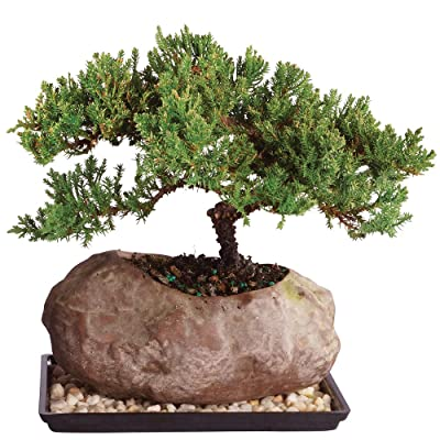 """Brussel's Live Green Mound Juniper Outdoor Bonsai Tree in Rock Pot - 6 Years Old; 5"""" to 7"""" Tall with Humidity Tray & Deco Rock: Garden & Outdoor"""
