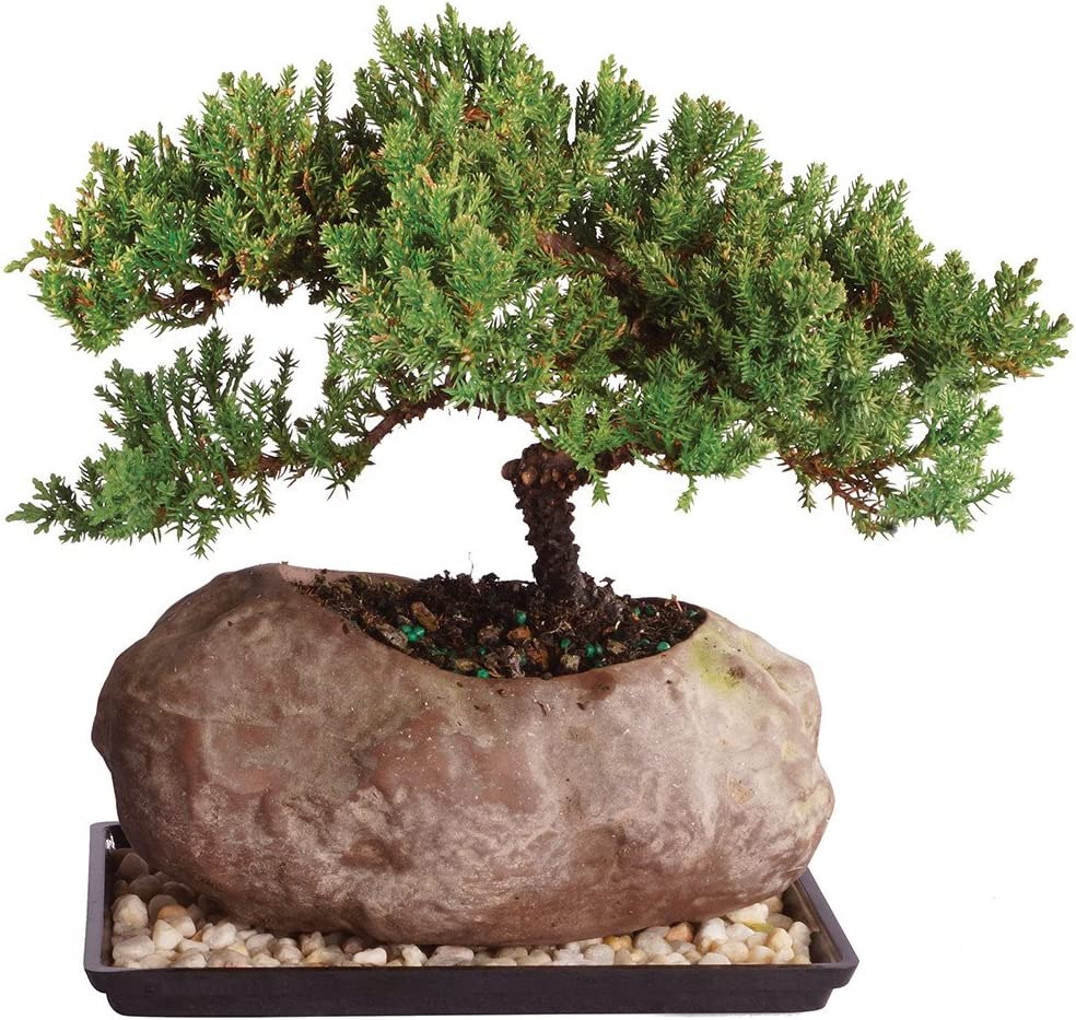 Amazon Com Brussel S Live Green Mound Juniper Outdoor Bonsai Tree In Rock Pot 6 Years Old 5 To 7 Tall With Humidity Tray Deco Rock Garden Outdoor