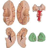 Scicalife Display Modelo de Cérebro Com Artérias Humanas para a Ciência Estudo Em Sala de Aula de Ensino Aprendizagem…