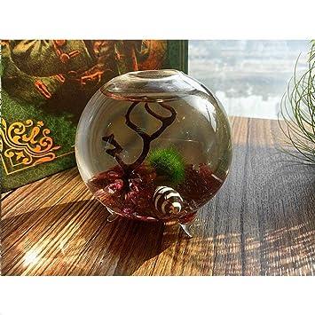 NewDreamWorld - Kit para terrario con alga Marimo - Jarrón de cristal con base de 6 cm para ...