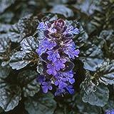 "Black Scallop Bugleweed - Ajuga - NEW! - Darkest Form - 4 Plants - 1 3/4"" Pots"