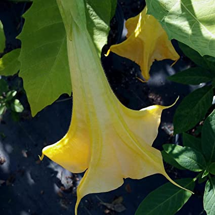Amazon daybreak brugmansia angels trumpet live tropical plant daybreak brugmansia angels trumpet live tropical plant large fragrant yellow flowers starter size 4 inch pot mightylinksfo