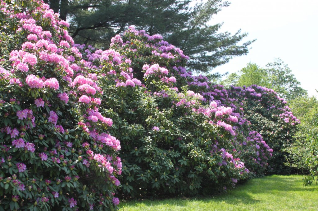 Rhododendron English Roseum - Hardy to -25F - Will Grow to Seven Feet (21-24'' Wide - Typically 7 Gallon)