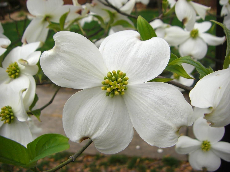 Amazon Exotic10 White Dogwood Tree Seeds 1193 Tree