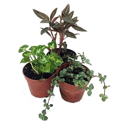 "AchmadAnam - Live Plant 3 Terrarium & Fairy Garden Outdoor Plants in 2"" pots : Garden & Outdoor"