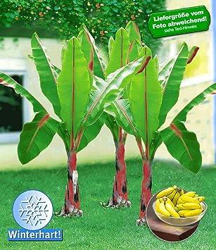 Super BALDUR-Garten Winterharte Bananen Pflanze 'rot', 1 Pflanze Musa #IN_92