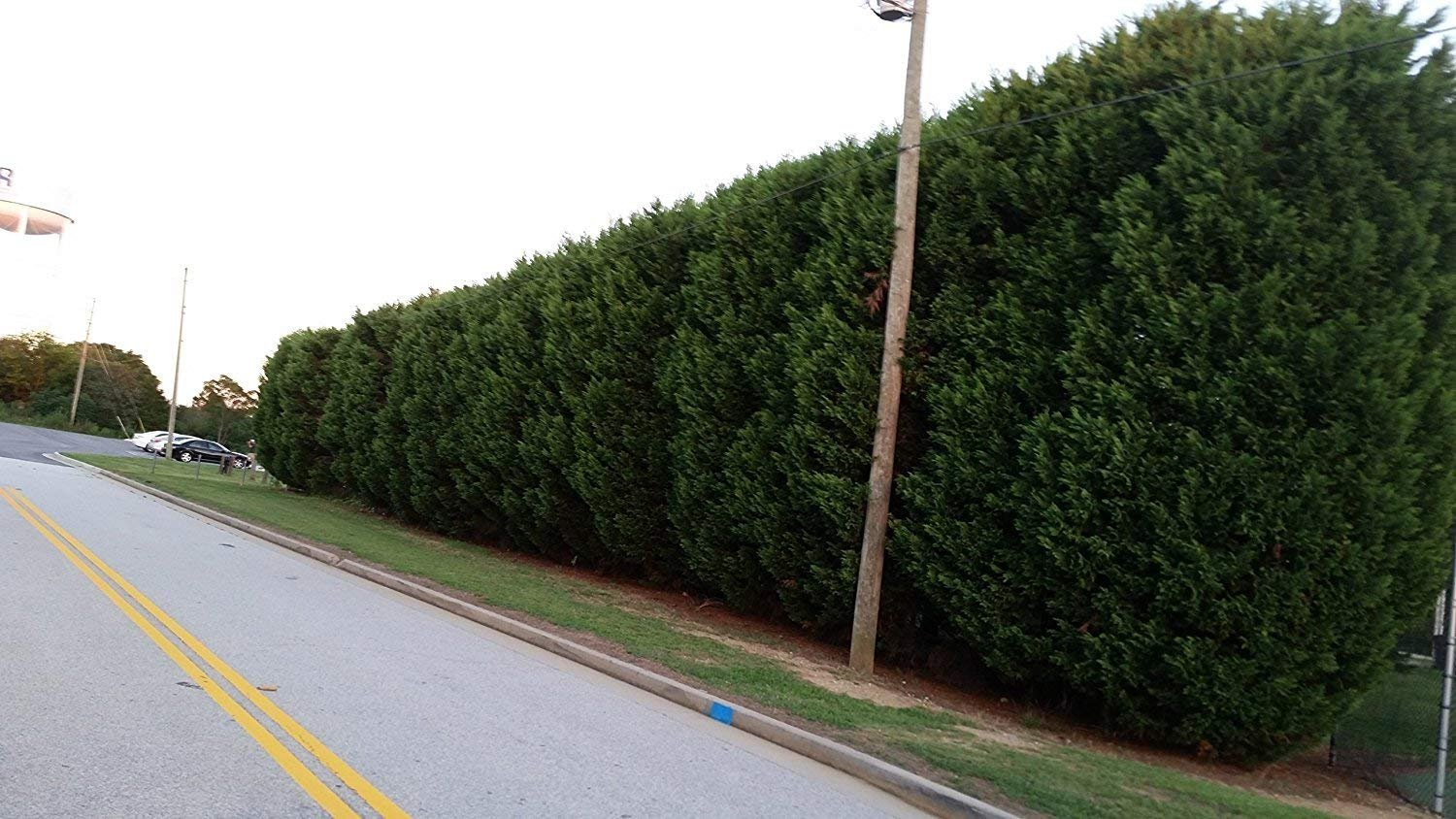 Thuja Green Giant Arborvitae Qty 60 Live Plants Privacy Hedge by maggyplanthome