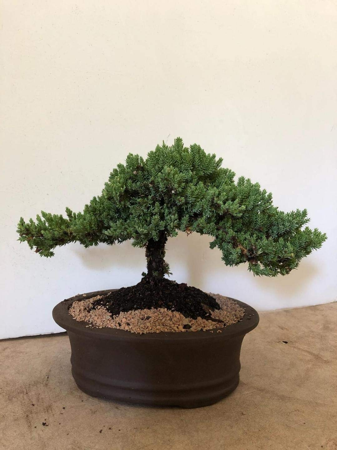 Eve's Garden Japanese Juniper Bonsai Tree, 12 Years Old Japanese Juniper, Planted in 12 Inch Ceramic Container, Outdoor Bonsai ! ! ! Cannot Ship to CA California ! ! !