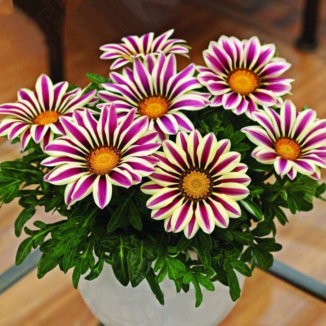 TOMASA/Seedhouse-100 unidades Crisantemo Semillas de manzanilla Fragante invierno cubierta de tierra africana con forma de anillo Plantas en forma de canasta para jard/ín balc/ón