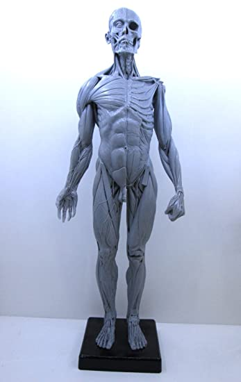 Echthaar Anatomie-Figur männlich Modell 61 cm Polyresin grau: Amazon ...