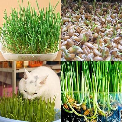 800pcs Wheatgrass Seeds Cat Grass Seeds Malt Seeds Hard Red Wheat Seeds Home Garden Plant : Garden & Outdoor