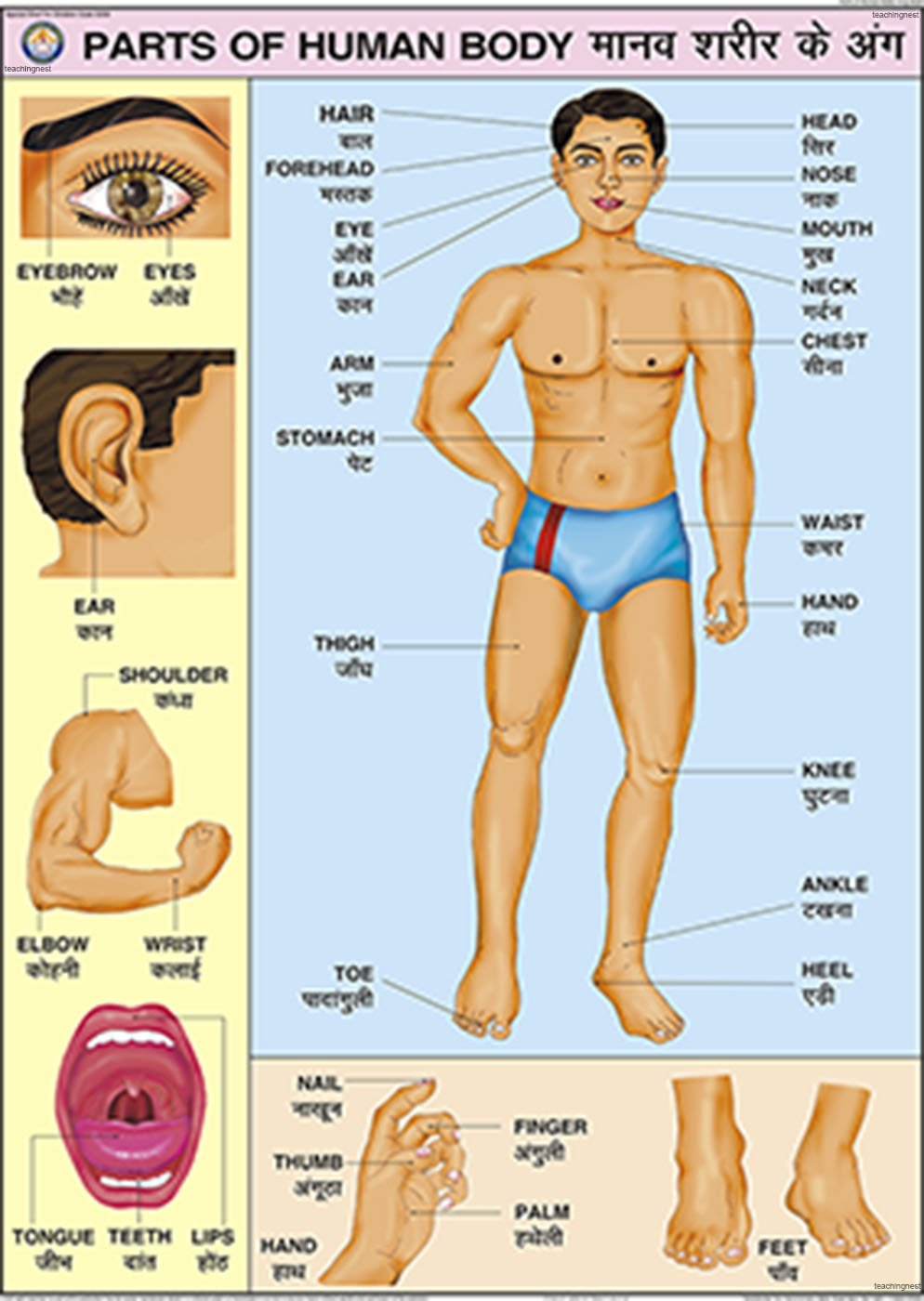 Buy Parts Of Human Body Chart 70x100cm Book Online At Low Prices Computer Diagram For Kids In India Reviews Ratings