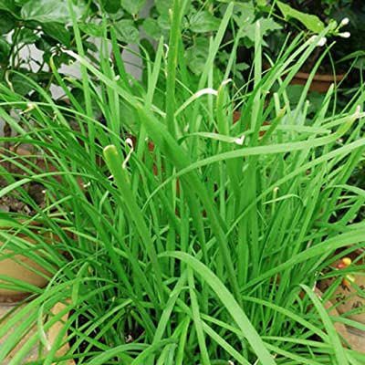 Bravet Vegetables Seeds - 50 Pcs Organic Vegetables Seeds for Home Balcony Garden Planting : Garden & Outdoor