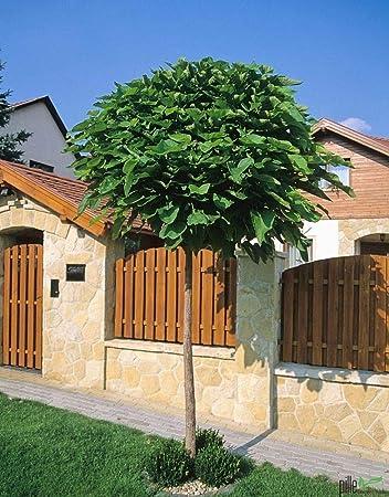 Catalpa Nana Stammhöhe: 180 cm Höhe: 250 cm Dünger Kugel-Trompetenbaum