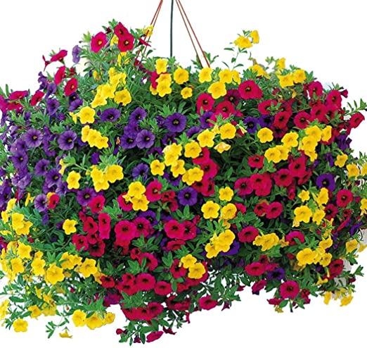 MURIEO jardín- 100pcs Morning Glory Seeds