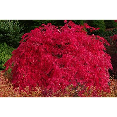 Scarlett Princess Japanese Maple Live Tree NOT Seeds - A New Red Variety - Acer palmatum 'Scarlet Princess' - 1 - Year Live Tree : Garden & Outdoor