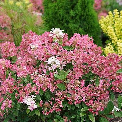 Hydrangeas, Little Quick Fire Flowering Shrubs, Quart-Sized Pot : Garden & Outdoor