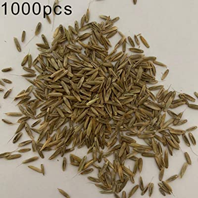 Lucky Direct Lemongrass Seeds Cymbopogon Flexuosus Plant Garden Balcony Decor Flower Seeds Plant Seeds Gardening Home Decor 1000pcs : Garden & Outdoor