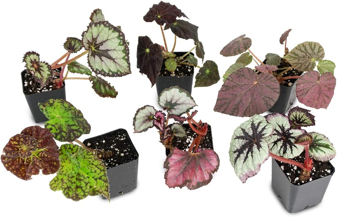 Amazon Com Begonia Rex Grower S Choice Single Plant Picture