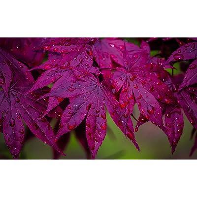 BLOODGOOD JAPANESE MAPLE acer palmatum 'Bloodgood' 2 - YEAR TREE : Garden & Outdoor