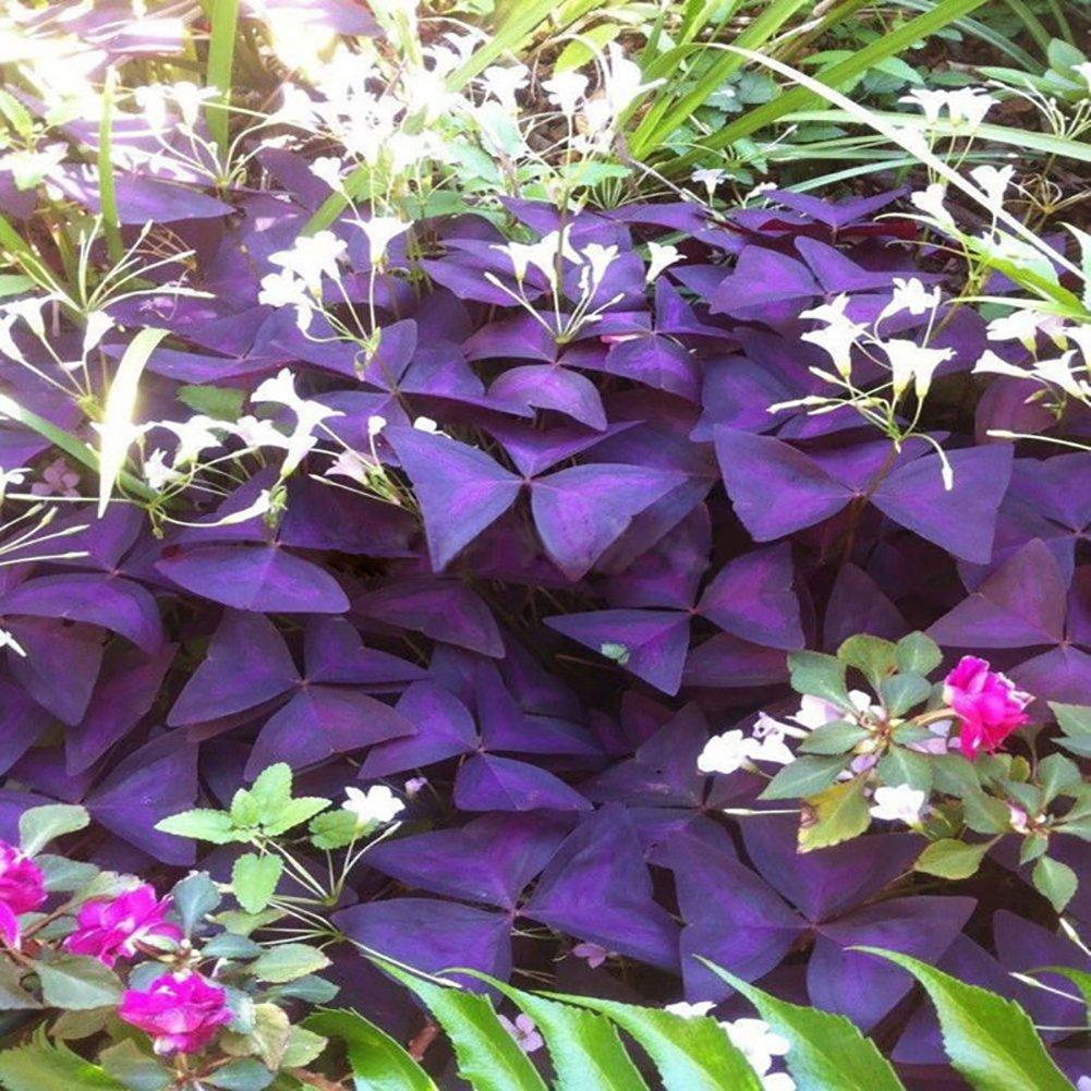 Bluelans 10 Pcs Shamrock Oxalis Triangularis Garden Plant Leaf Garden Flower Seeds