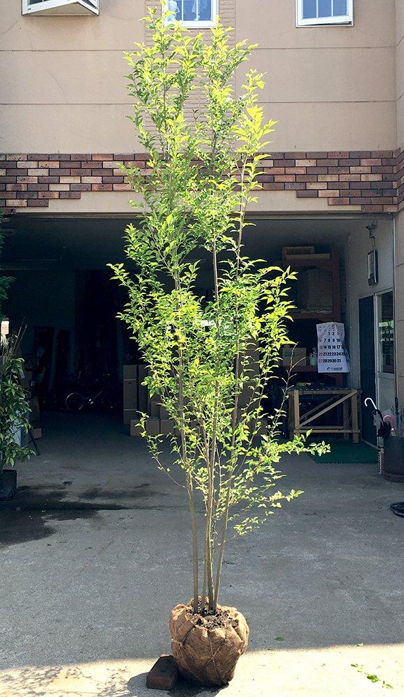 エゴノキ 白花 H2.5m前後 株立ち!シンボルツリーに最適です B00AQ7LOH0