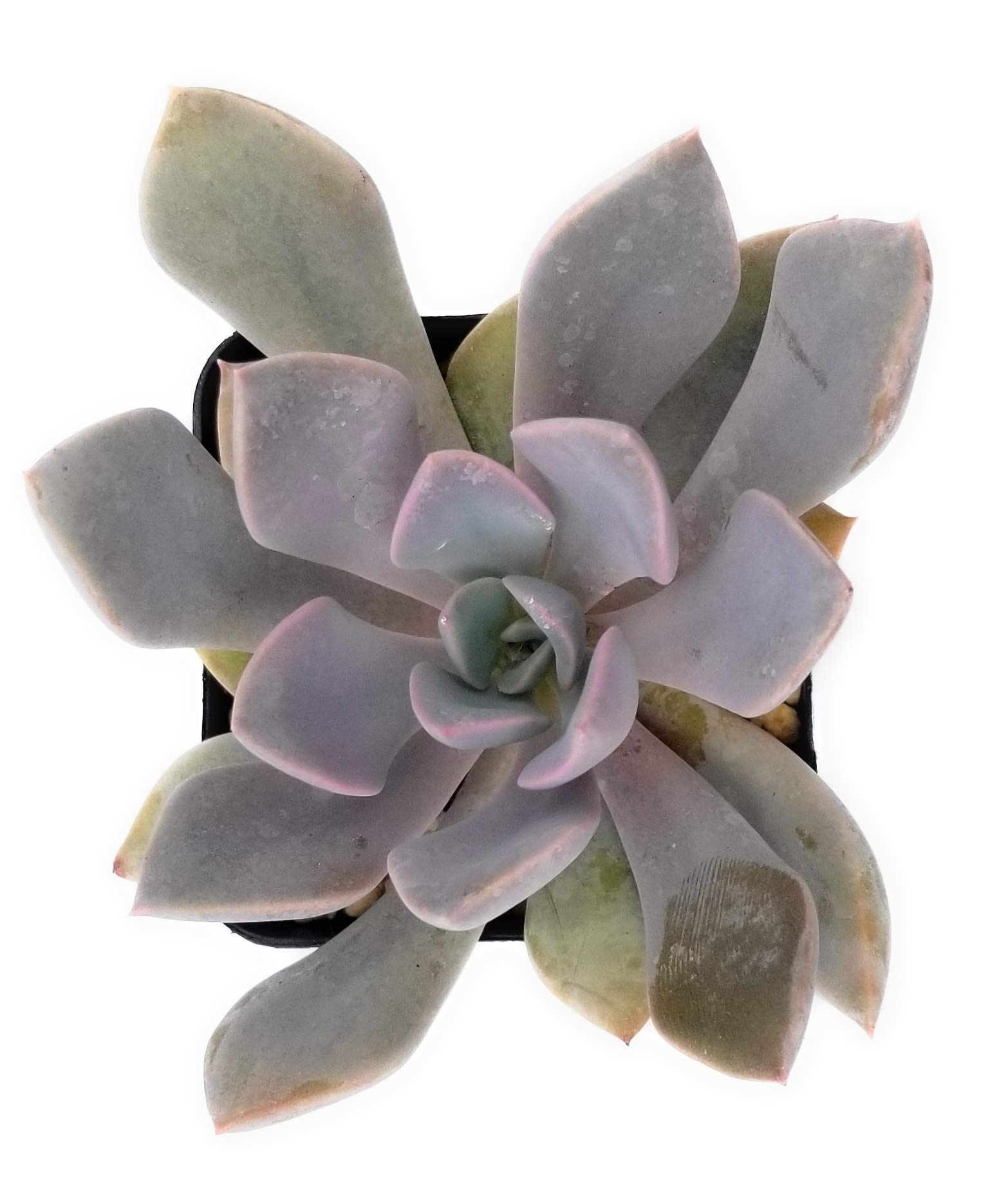 Fat Plants San Diego Live Echeveria Succulent Plant in a 4 inch Plastic Growers Pot (2.5 inch, graptoveria Debbie)