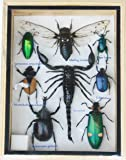 Real Mixed Beetle Cicada Scorpion Insect Boxed Framed Taxidermy Display Wood Box For Collectibles
