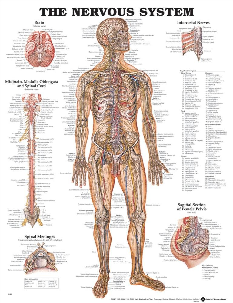 Amazon The Nervous System Anatomical Chart Poster 20 X 26in