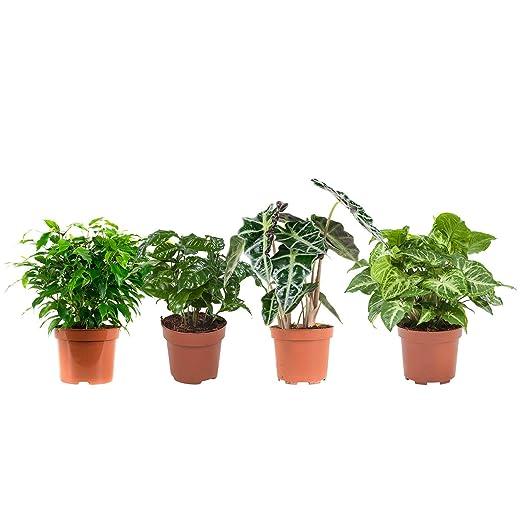 Piante Da Appartamento Syngonium.Piante Da Interno Da Botanicly 4 Ficus Coffea Alocasia