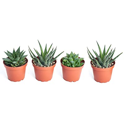 "Shop Succulents Alluring Live Aloe Haworthia Hand Selected for Health, Size | Pack of Plants in 2"" Pots, Gardener Collection : Garden & Outdoor"