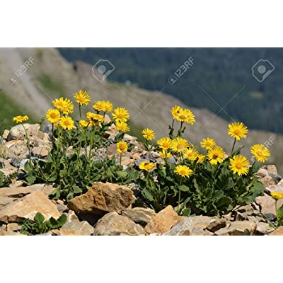 "USA"" Heirloom Organic Arnica : Garden & Outdoor,"""