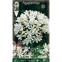 Bulbos primaverales Agapanthus blanco paquete de 1 bulbo