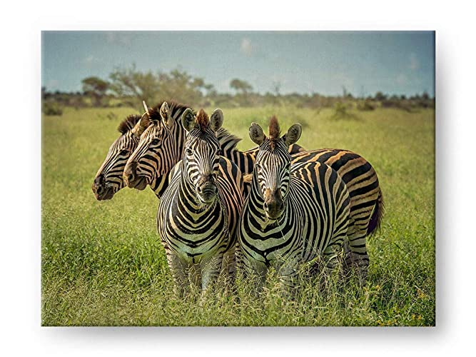 amazon com group of zebras wildlife photograph gallery mounted