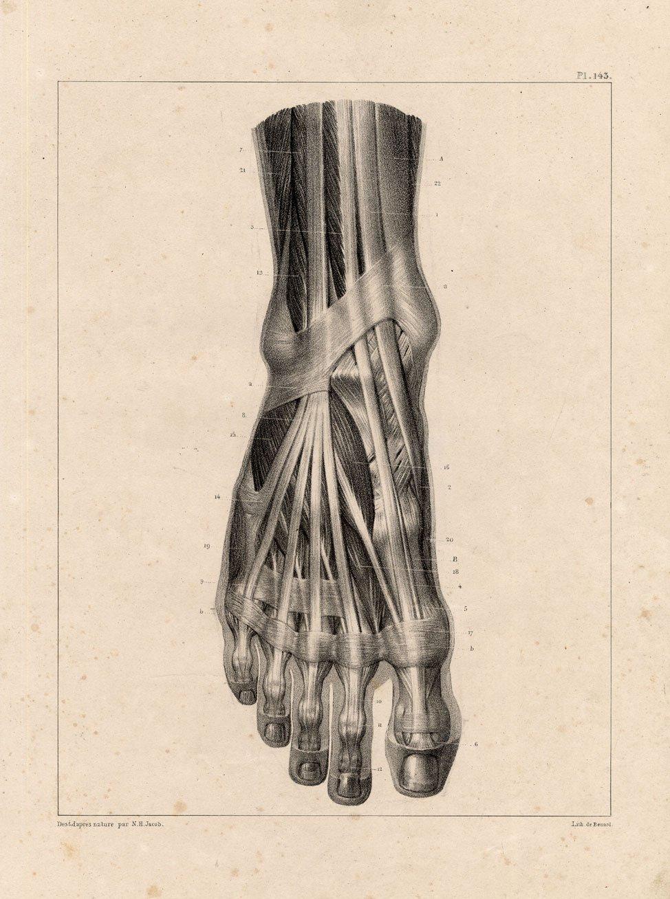Amazon 4 Antique Medical Anatomy Prints Muscles Leg Foot Toe