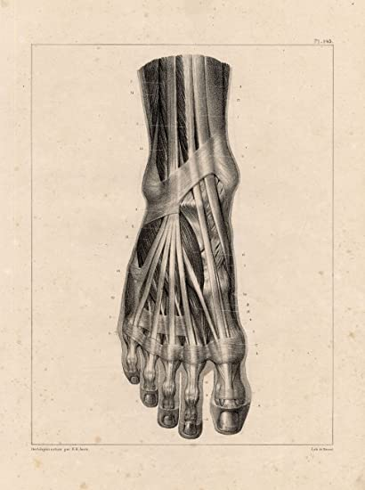 Amazon.com: 4 Antique Medical Anatomy Prints-MUSCLES-LEG-FOOT-TOE ...