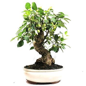 Manzano ornamental, Malus, bonsái para exterior, 19 años, altura 39 cm