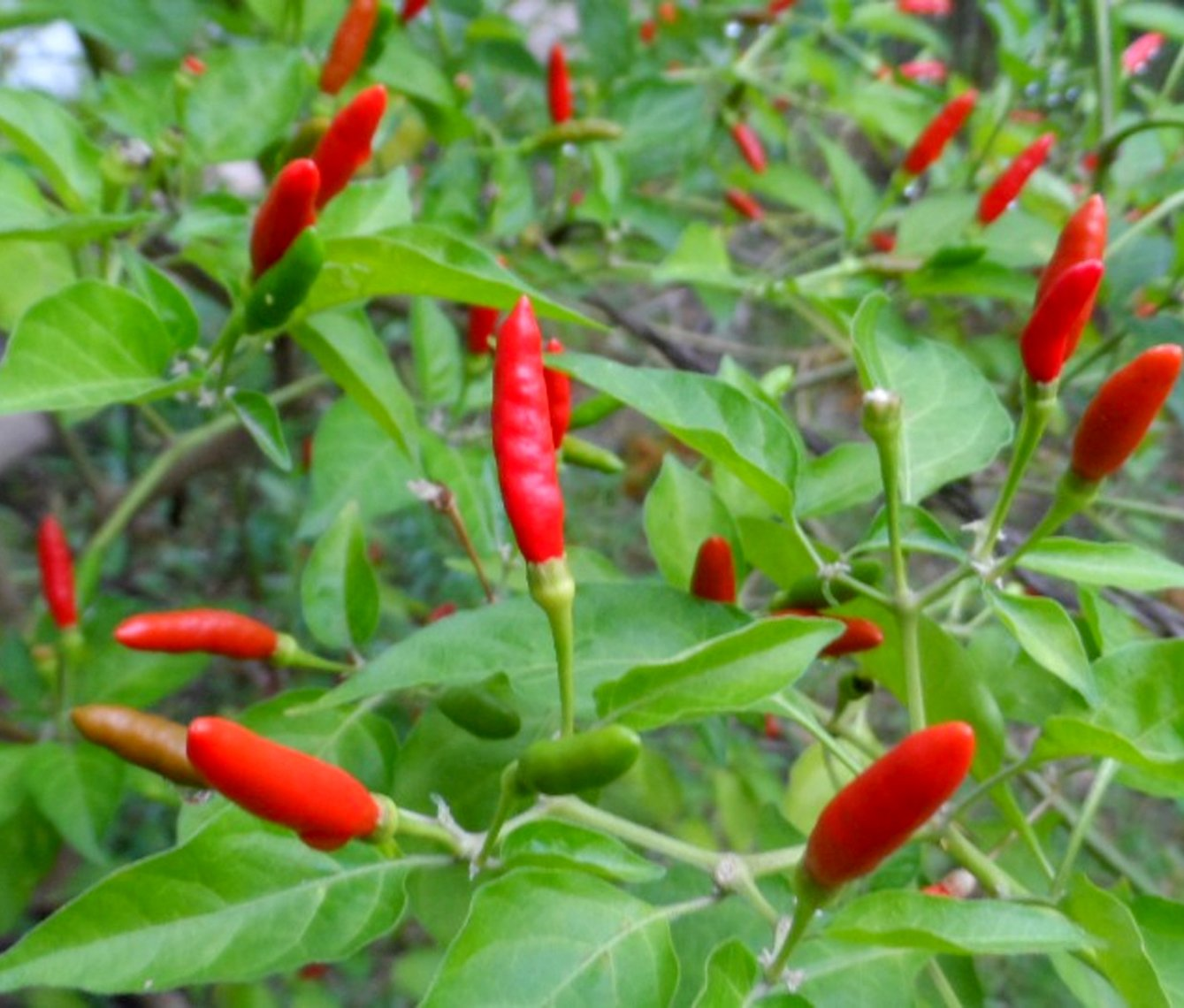 Hottest Birds Eye Chili Seeds Thai Hot Pepper Seeds – 106 Seeds Gift For You