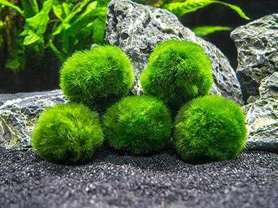 Marimo Moss 5 Balls Cladophora 1.5 inch