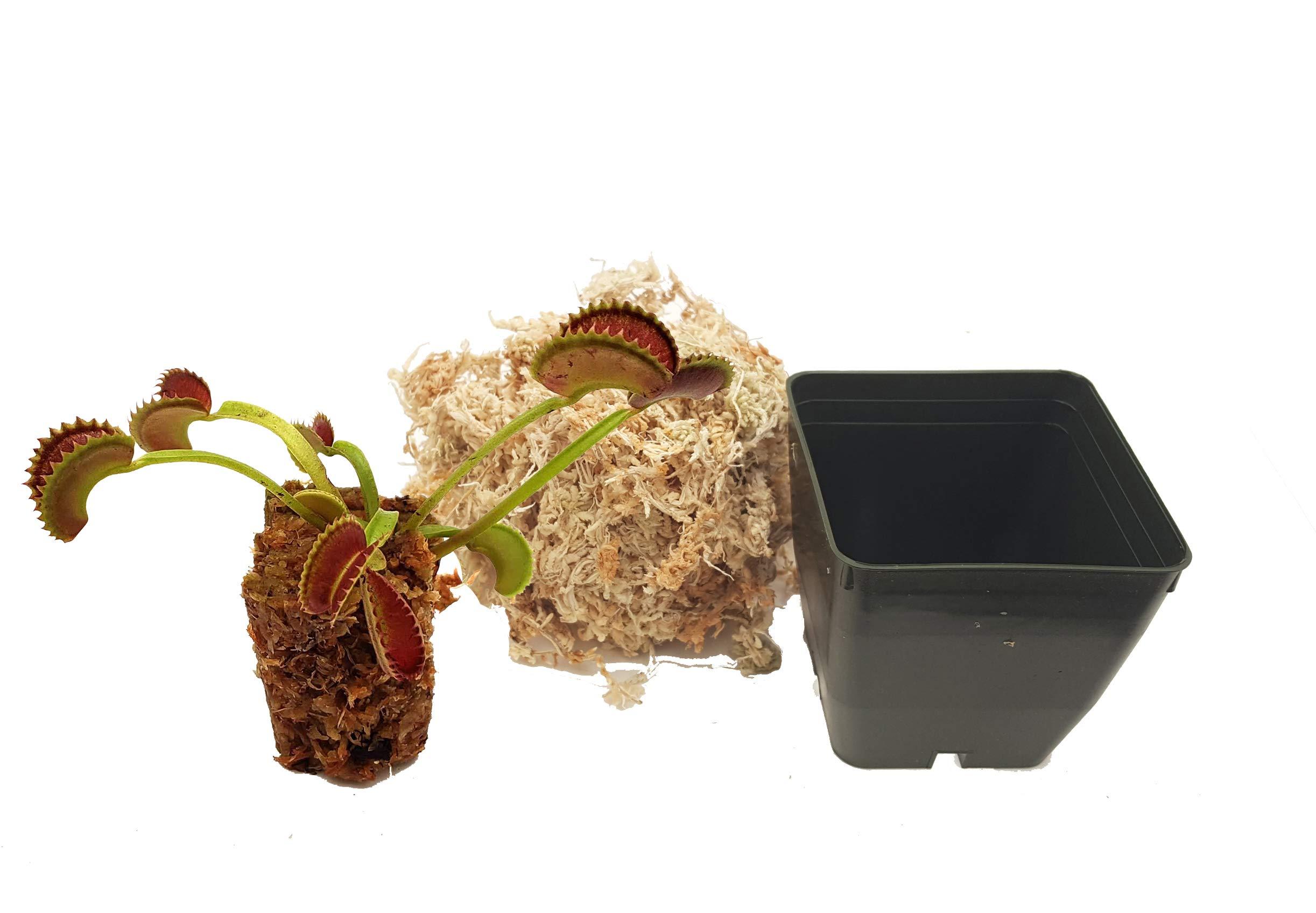 Venus Flytrap 'Dente' Carnivorous Plant, Dionaea muscipula, Live Arrival, Adult Plant, 3'' Pot - Predatory Plants by Predatory Plants (Image #3)