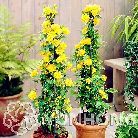 50 seeds Kerria Japonica  Bonsai Flower Plant  Home Garden Kerria Japonica